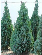Blaue Zypresse Columnaris 180-200 cm. Angebot: