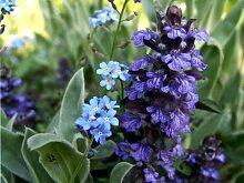 Blauer Günsel (Ajuga reptans) Teichpflanze