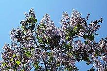 Blauglockenbaum Paulownia elongata Pflanze 25-30cm