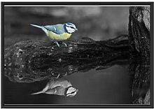 Blaumeise spiegelt Sich im Wasser im Schattenfugen