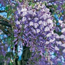 Blauregen 'Prolific' - Wisteria sinensis