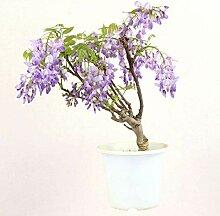 Blauregen, Bonsai, 7 Jahre, 45-55cm