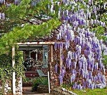 Blauregen Wisteria floribunda Bonsai-geeignet 100