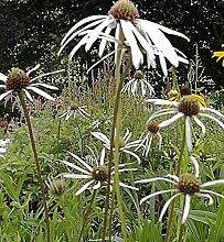 Bleicher Sonnenhut Hula Dancer - Echinacea pallida