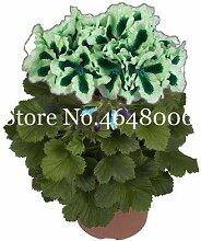 Bloom Green Co. 100 PC-Bonsai Mul-Farbe Geranie,