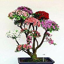 Bloom Green Co. 100 PCS Seltene Bonsai Azalee