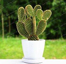 Bloom Green Co. 100 Stück Opuntia Microdasys