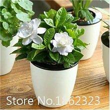 Bloom Green Co. 100pc Bonsai Blume Bonsai