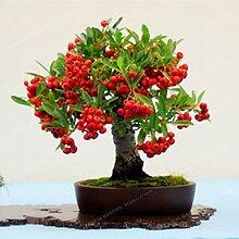 Bloom Green Co. 100pcs Japanische Azalee Bonsai,