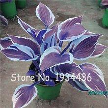 Bloom Green Co. 200 Stk/Packung Schöne Hosta
