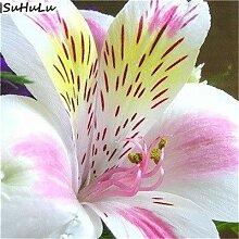 Bloom Green Co. 24 Farben Alstroemeria 200