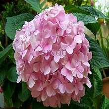 Bloom Green Co. Best-verkaufen20pcs / bag Geranie