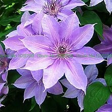 Bloom Green Co. Bonsai 100 PC/pack Clematis Blume