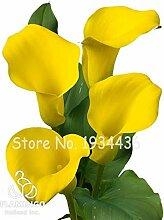 Bloom Green Co. Calla-Lilien-Bonsai Zimmer Blumen