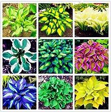 Bloom Green Co. Exotische Hosta Pflanze Vier