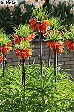 Bloom Green Co. Schlussverkauf! Bonsai 200 PC/Rot,
