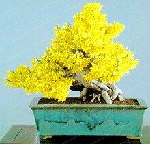 Bloom Green Co. Yellow Bonsai Jasmin-Blumen-20pcs