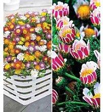 Blühende-Bodendecker-Kollektion