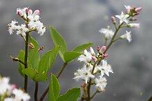 Blume des Jahres 2020 ! - fertig im Pflanzkorb -