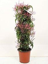 Blume – Jasmin – Höhe: 50 cm
