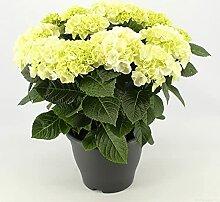 Blume von Botanicly – Hortensie – Höhe: 50 cm