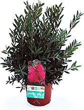 Blume von Botanicly – Zylinderputzer – Höhe: