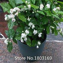 Blumen 50Kiefernzapfen Samen Jasmin Weiß,