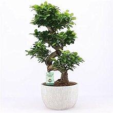 Blumen Senf Bonsai Ficus microcarpa Ginseng ca.