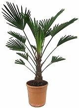 Blumen Senf Trachycarpus Wagnerianus 25 cm / 10