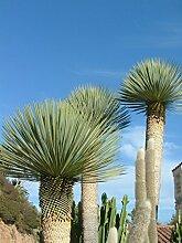 Blumen Senf Yucca rostrata (Höhe: 45 cm)