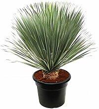 Blumen Senf Yucca rostrata Stamm: 10-20 cm / Höhe 80-100 cm Winterhart Pflanze im Topf bis -20°C …