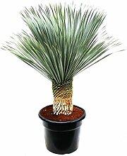 Blumen Senf Yucca rostrata Stamm: 20-30 cm / Höhe 90-110 cm Winterhart Pflanze im Topf bis -20°C