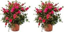 Blumen von Botanicly – 2 × Zylinderputzer –
