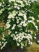 Blumenhartriegel Cornus kousa China Girl 80 cm