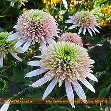 Blumensamen 20 Samen / Pack, Indian 'Wächter