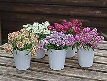 . Blumensamen: Alyssum Königs Mixed Garten