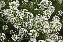 . Blumensamen: Alyssum Schnee Teppich Garten