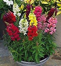 . Blumensamen: Antirrhinum Majus Garten Samen für