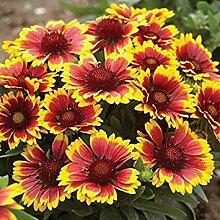 . Blumensamen: Arizona Sun Gaillardia Garten Samen