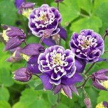 Blumensamen Bonsai Winky Double Rose & Amp; Weiße