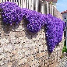 Blumensamen Creeping Thyme Samen oder Blau ROCK Kressesamen - Perennial Bodendecker Gartendekoration Blume 40pcs AA Blau Thymian