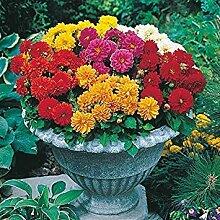 . Blumensamen: Dahlia Hortensis Küche Garten