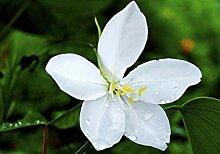 . Blumensamen: Dwarf Weiß Bauhinia Balkon Garten
