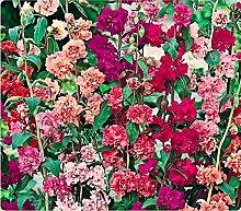 Blumensamen Elegante Clarkia Doppel Mix (Clarkia unguiculata) Jahres
