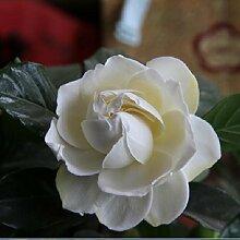 Blumensamen Freies Verschiffen 20 Stücke weiße