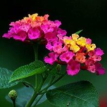 Blumensamen für Garten exotische Pflanzensamen,