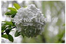 Blumensamen, für Hortensien, Hortensien, Bonsai,