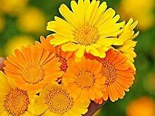 . Blumensamen: Garten Marigold orange Blumensamen