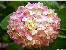 Blumensamen Hortensie Samen Bonsai Samen Licht