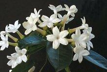 Blumensamen JASMIN DE MADAGASCAR (Kranzschlinge) Z520 WAX Blumensamen Gartendekoration Pflanze freie Verschiffen 20pcs F99